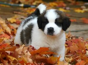 St._Bernard_puppy
